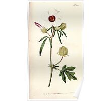 The Botanical magazine, or, Flower garden displayed by William Curtis V5 v6 1792 1793 0137 Hibiscus Trionum, Bladder Hibiscus Poster