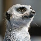 Meerkat Lookout by Adrian Paul