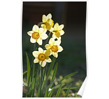 Sunny Daffodils Poster