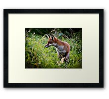 Red fox (vulpes vulpes) hunting along the banks of the river Trent, Trentham, Staffordshire, UK. Framed Print