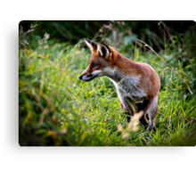 Red fox (vulpes vulpes) hunting along the banks of the river Trent, Trentham, Staffordshire, UK. Canvas Print