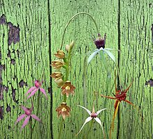 Cerise spider orchid on green painted wall by Leonie Mac Lean
