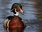 Wood Duck laugh by Jim Cumming