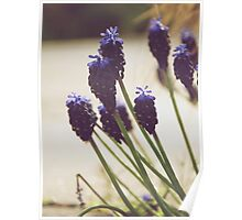 Grape Hyacinth study Poster