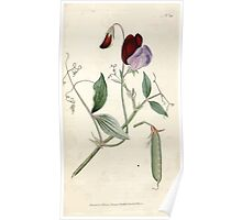 The Botanical magazine, or, Flower garden displayed by William Curtis V1 V2 1787 1789 0132 Lathyrus Odoratus, Sweet Pea, Vetchling Poster