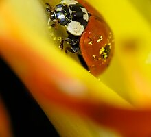 Macro of ladybird by igorsin