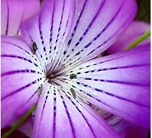 Concerto for Violet Photographic Print