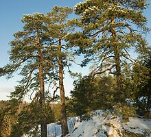 Pines by igorsin