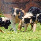 FOUR BORDER COLLIES AND A HOSE! by Magaret Meintjes