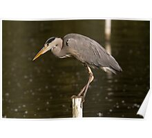 grey heron The perfect art of balance Poster
