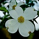 White dogwood  by carlosramos