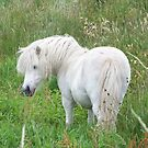 The Scotish Unicorn by Tracey Ross