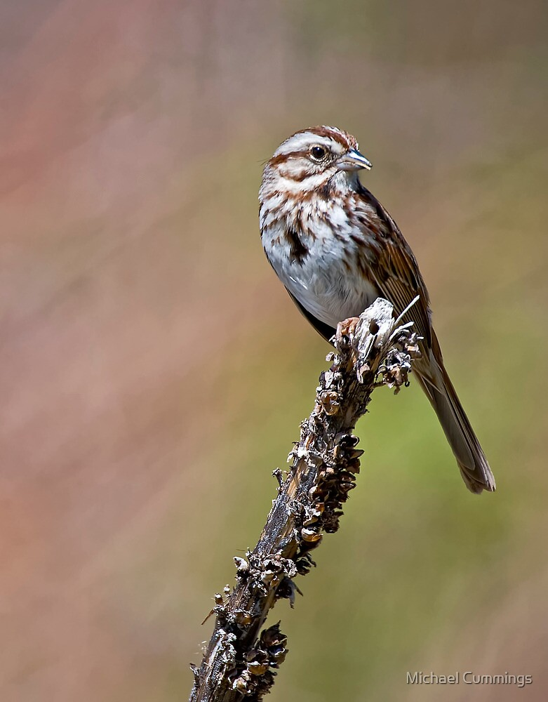 Song Sparrow on Mullen - Ottawa, Ontario by Michael Cummings