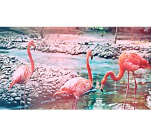 Exotic flamingos Photographic Print