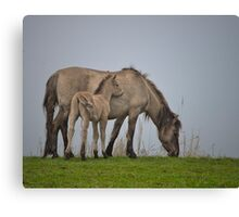A foal with its dam. Canvas Print