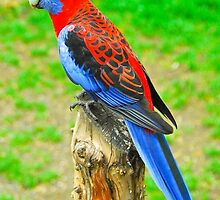 Beautiful Rosella by Penny Smith