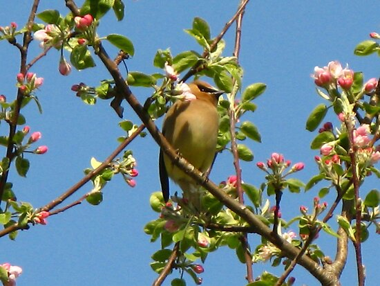 Another Spring, Another Cedar Waxwing by artwhiz47