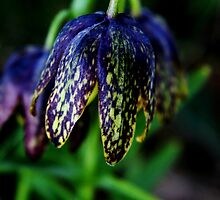 Chocolate Lily by TerrillWelch