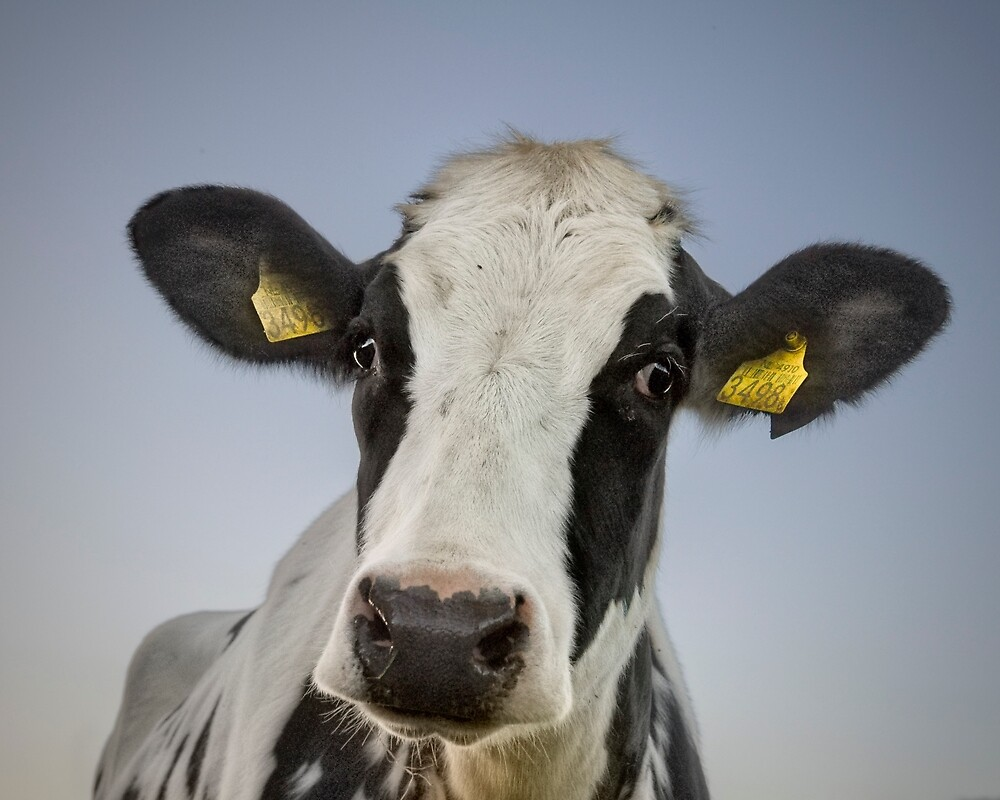 The cow by Henri Ton