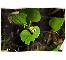 Downy Yellow Violet Poster