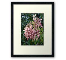 Pink Pieris 2 Framed Print