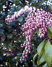 Pink Pieris - I by WalnutHill