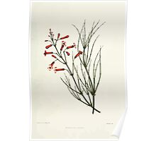 Familiar Flowers of India With Colored Plates, Lena Lowis 0029 Russelia Juncea Poster