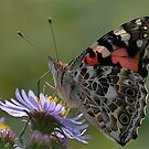 Painted Lady by creativegenious