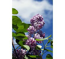 Lovely Lilac 2 Photographic Print