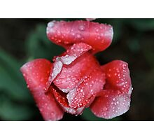 Pink for Breast Cancer Awareness (Tulip) Photographic Print