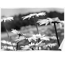 Field of Daisies [black & white] Poster