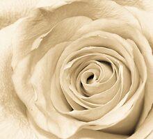 Antique Rose by Sean Napier