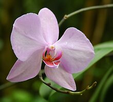 Orchid - Krohn Conservatory by Tony Wilder