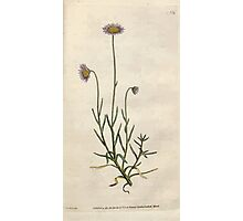 The Botanical magazine, or, Flower garden displayed by William Curtis V1 V2 1787 1789 0074 Aster Tenellus, Bristly Leaved Aster Photographic Print