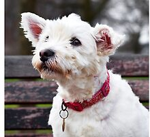 West Highland White Terrier Dog  by abbotsford