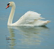 Cygnus Olor - Mute Swan Reflection | Center Moriches, New York by © Sophie W. Smith