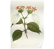 Familiar Flowers of India With Colored Plates, Lena Lowis 0021 Mussoenda Macrophylla Poster