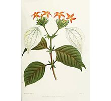 Familiar Flowers of India With Colored Plates, Lena Lowis 0021 Mussoenda Macrophylla Photographic Print