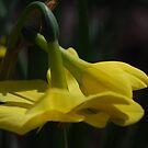 A Spring bulb bow. by Lozzar Flowers & Art