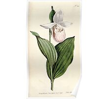 The Botanical magazine, or, Flower garden displayed by William Curtis V5 v6 1792 1793 0152 Cypripedium album, White Petalled Lady's Slipper Poster