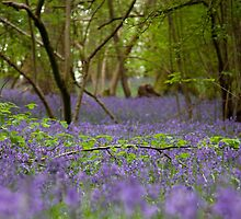 Bluebell wood, Hatchlands by Rachael Talibart