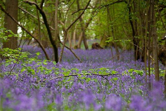 Bluebell wood, Hatchlands by Rachael Talibart