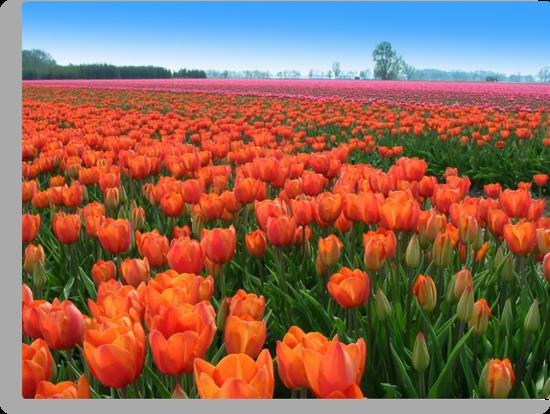 Tulipfields in Orange by ienemien