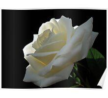Single White Rose. Poster
