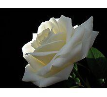 Single White Rose. Photographic Print