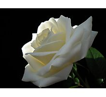 Single White Rose. Photographic Print