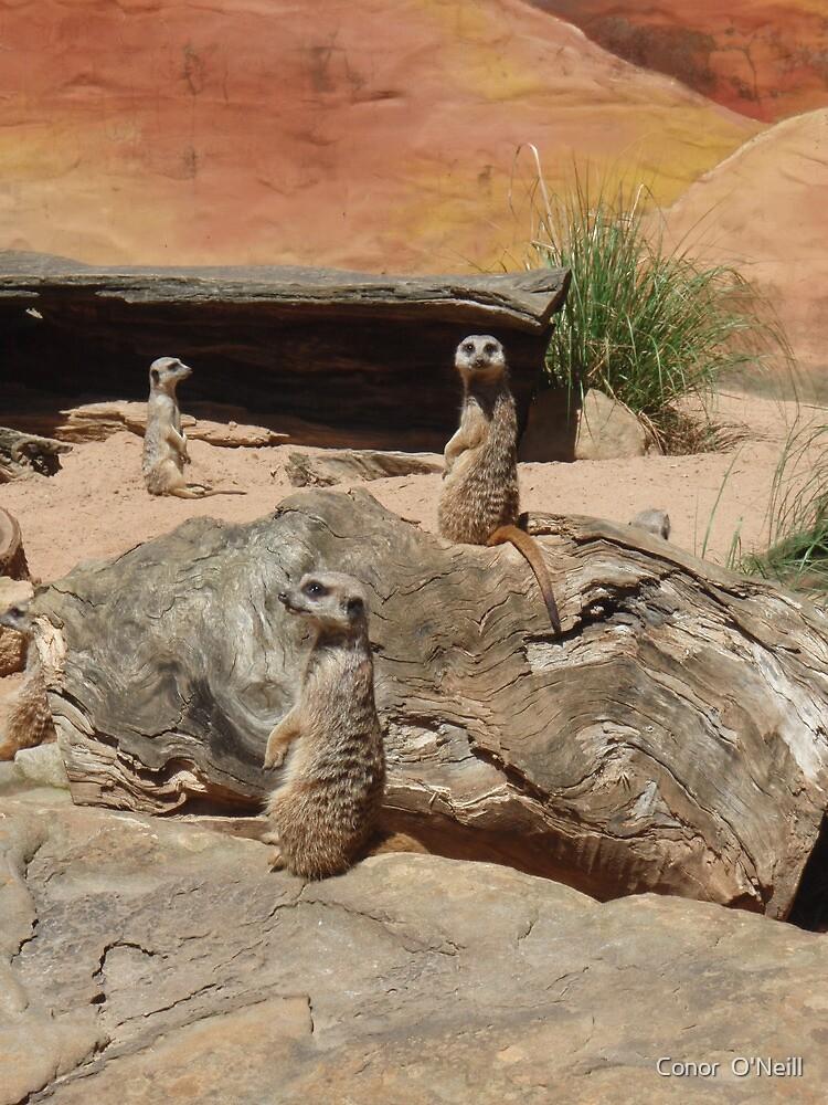 Meerkats by Conor  O'Neill