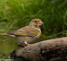 Greenfinch - III (Carduelis chloris) by Peter Wiggerman
