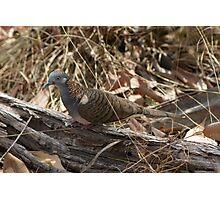 Aussie Pigeon  Photographic Print