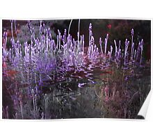 Lavender Reflections Poster
